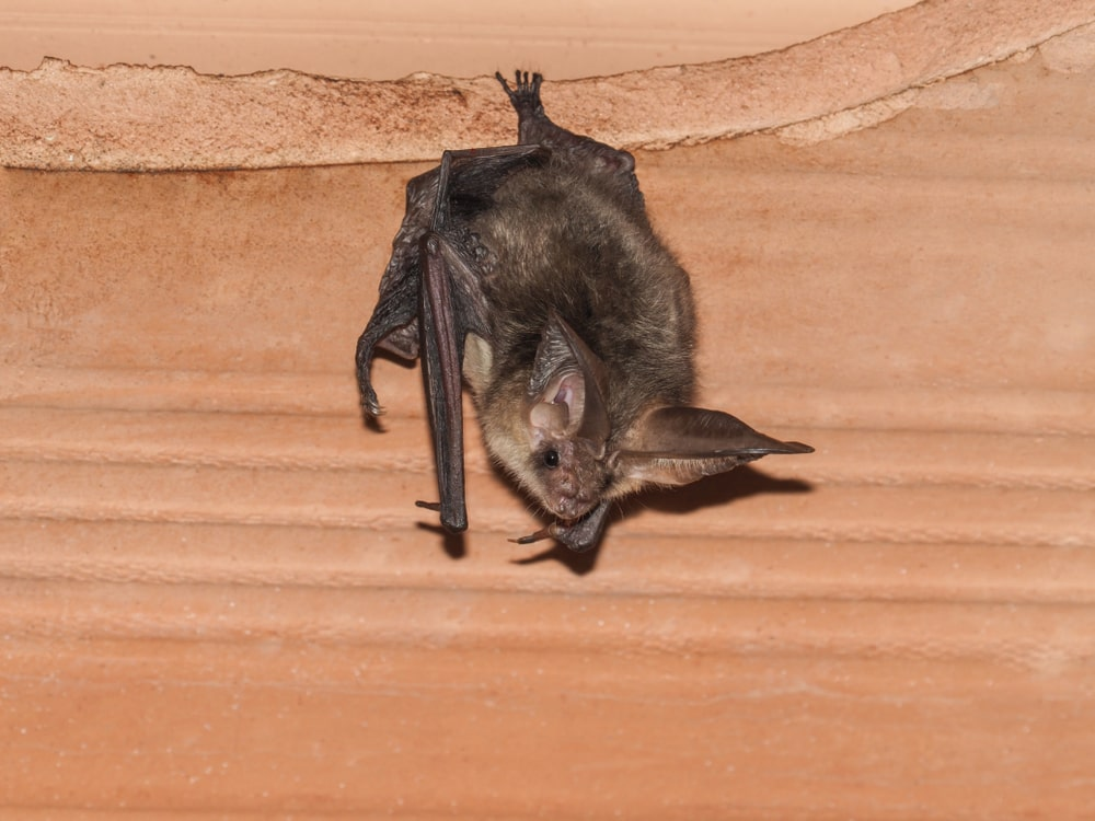 Exclusion Services for Bats