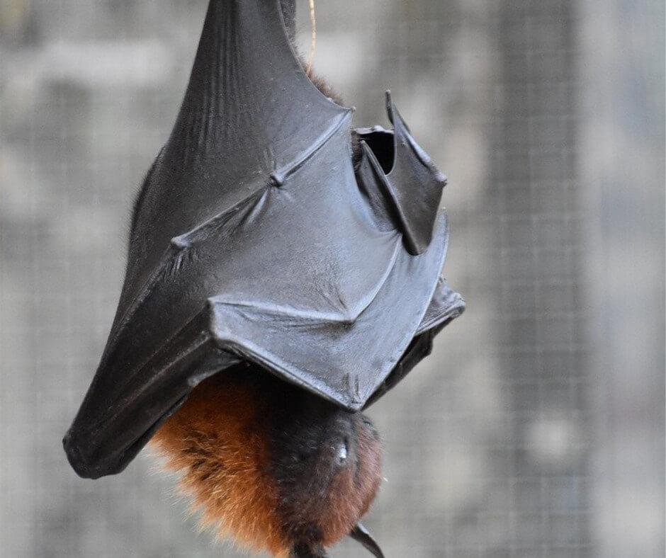 Animal Exclusion Services Bat