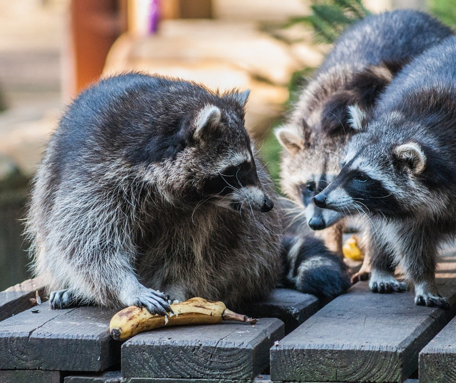 Raccoon Removal and Exclusion Services